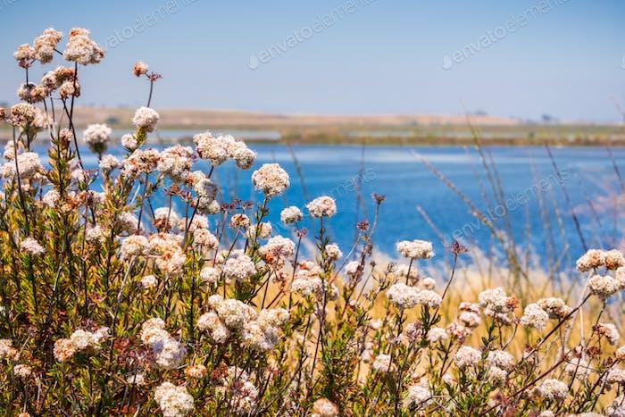 California Buckwheat (Eriogonum fasciculatum) wildflowers, San Francisco bay area, California