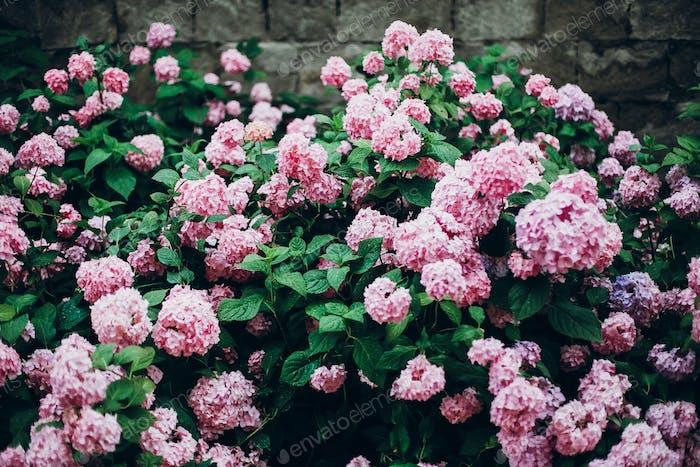 big beautiful hydrangea pink bush