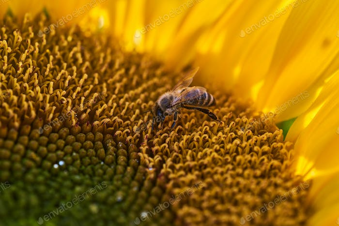 Bee on a sunflower at the field