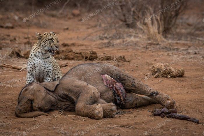 Leopard standing at an Elephant carcass.
