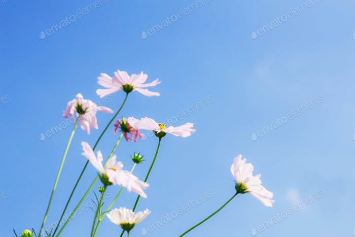 White cosmos with blue sky