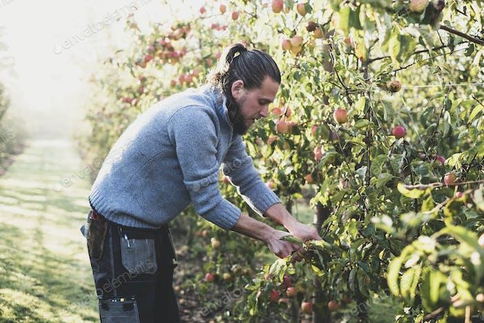 Mann, der in Apfelgarten steht, Äpfel vom Baum pflücken. Apfelernte im Herbst.