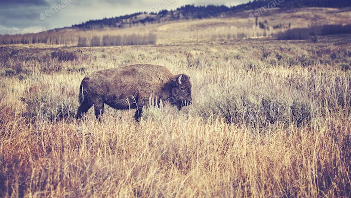 Vintage toned American bison grazing in the Grand Teton National