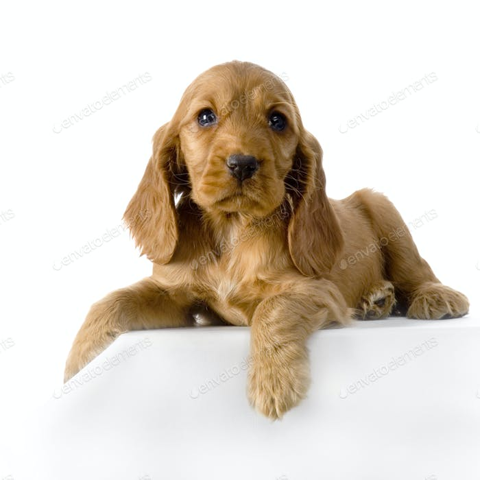 French Cocker Spaniel Puppy