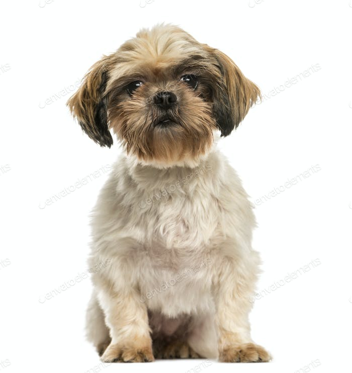 Front view of a Shih tzu sitting, isolated on white