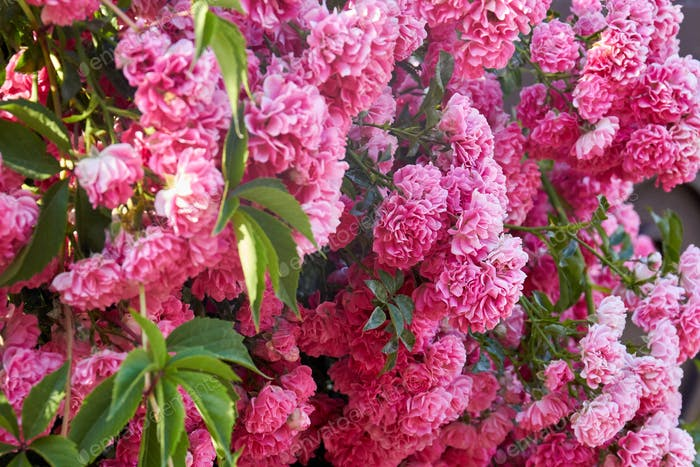 Texture of many pink damask roses with leaves in the garden.