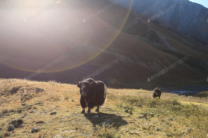 Tibet yak looking at camera in winter high altitude prairie