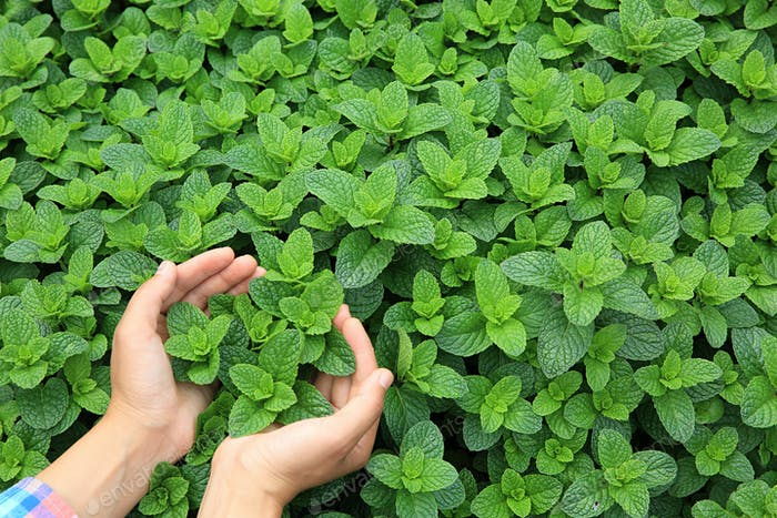 Hands protect mint in growth at garden