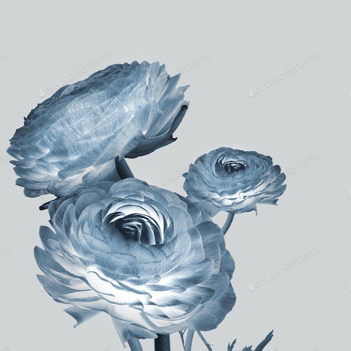 Negative effect ranunculus flower