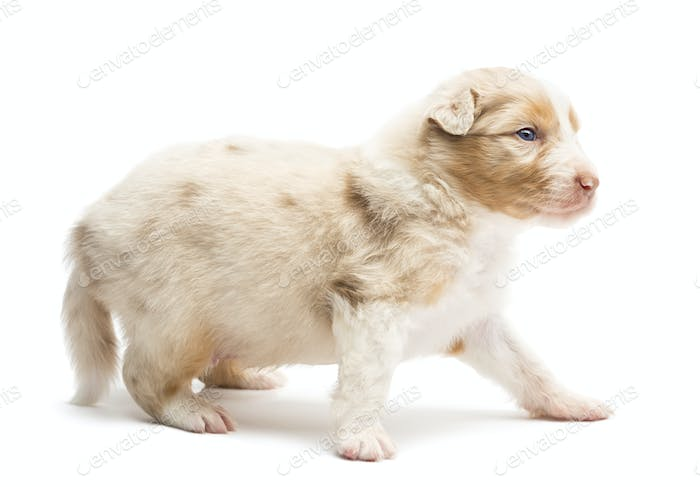 Australian Shepherd puppy, 22 days old, standing and looking away against white background