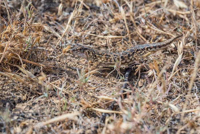 Steppe Runner Lizard or Eremias arguta in dry grass close