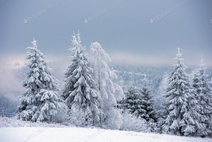 Fairy winter landscape with snowy trees