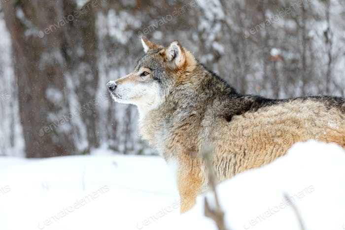 Close-up of focused alpha male wolf in the snow in beautiful winter forest