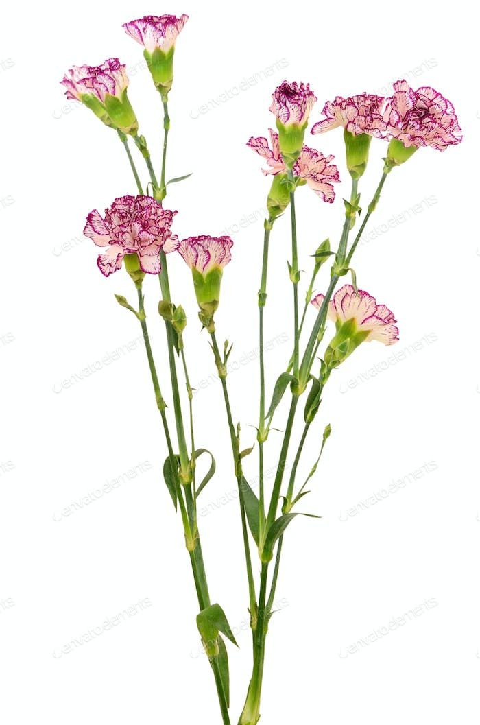 Branches of purple carnation flower