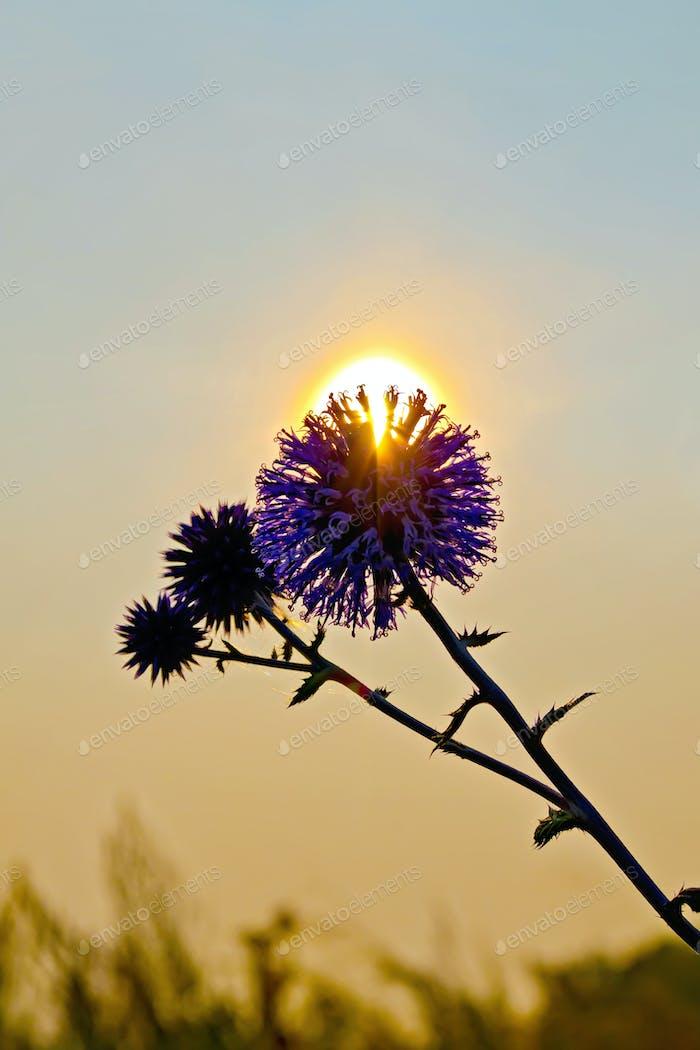 Flower spiny at sunset