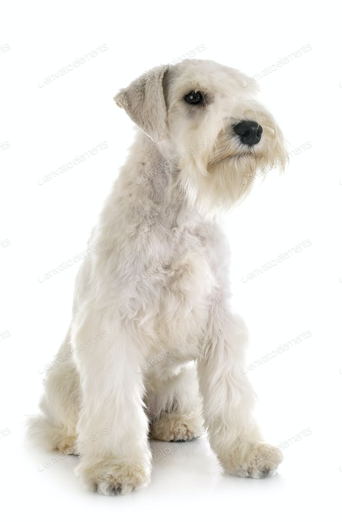 miniature schnauzer in studio