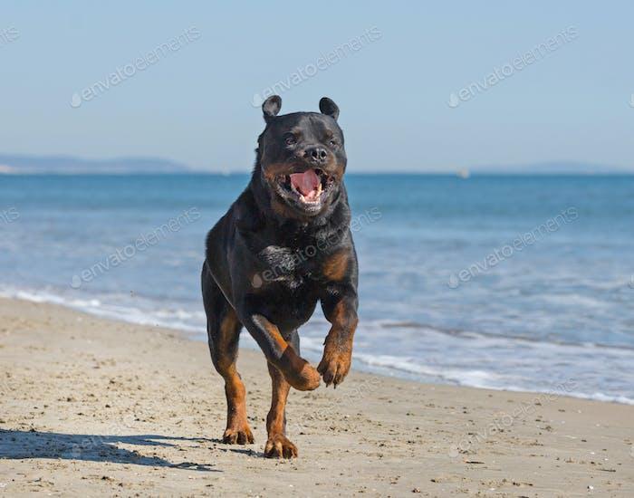 rottweiler sur la plage