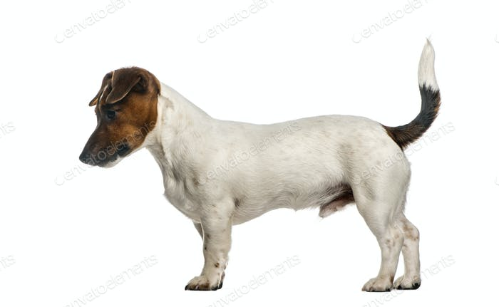 Side view of a Jack Russel Terrier standing, isolated on white