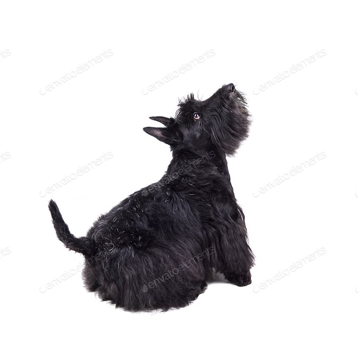 Black scotch terrier