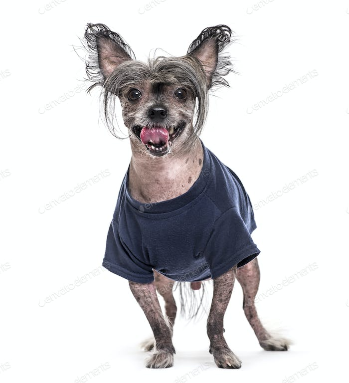 Standing and panting Chinese Crested Dog wearing a blue dog coat, cut out