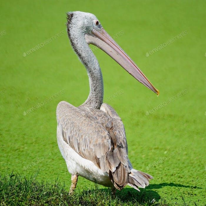 Pelikan mit Spotschnabelung