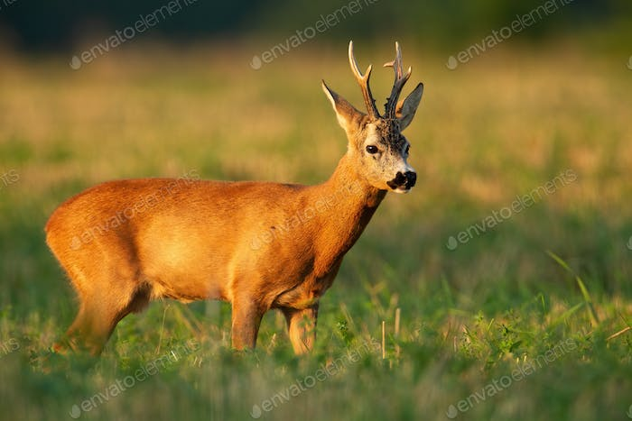 Roe deer buck standing on a stubble field in summer at sunset