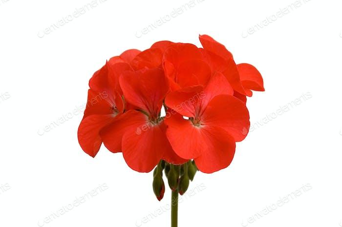 geranium_2
