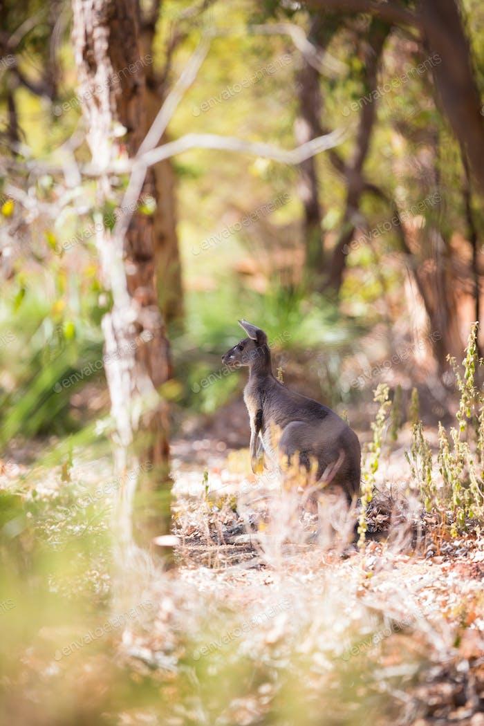 Kangaroo in western Australia