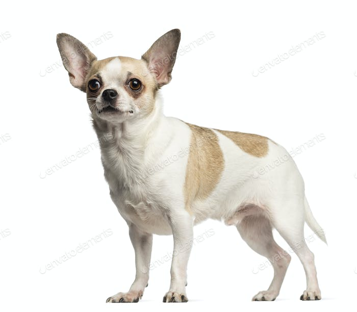 Chihuahua (2 years old) standing, isolated on white