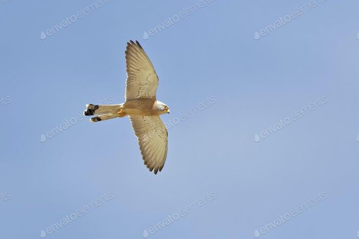 Rötelfalke, Falco naumanni, Lesser Kestrel