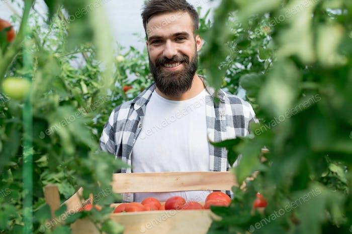 Junger Mann, der Tomaten im Gewächshaus erntet