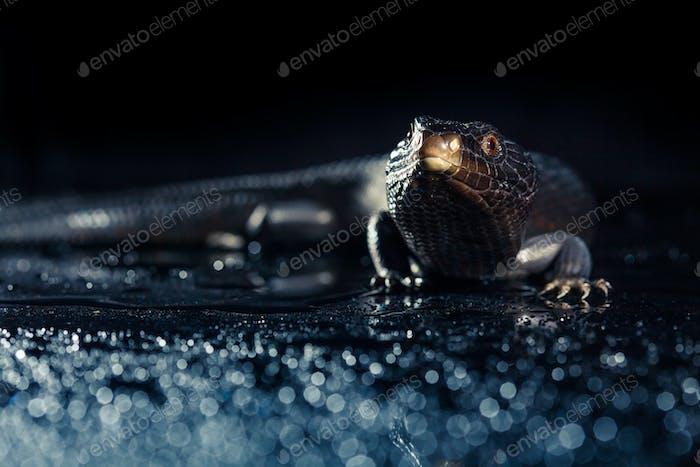 Black blue tongued lizard in wet dark environement