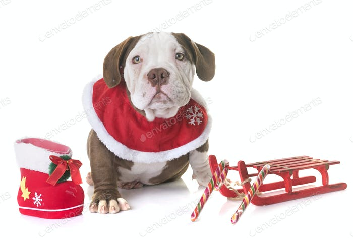 puppy american bully and christmas