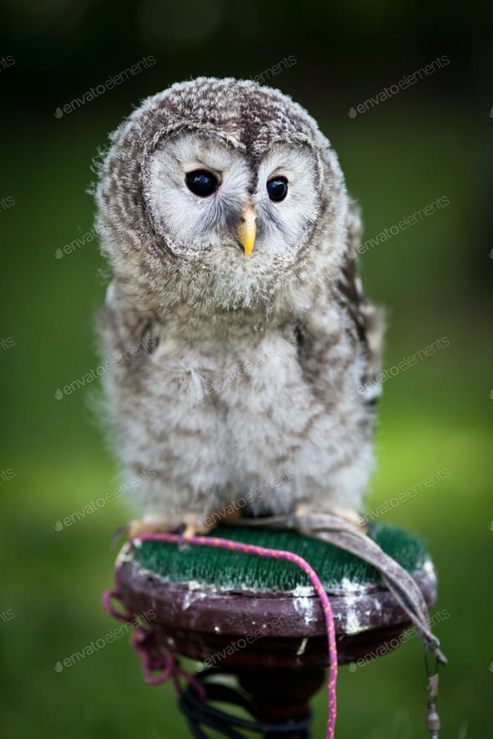 Close up of a baby Tawny Owl (Strix aluco)