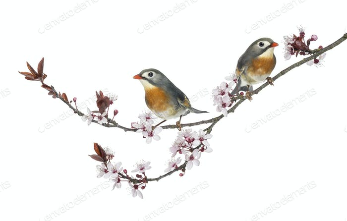 Two Red-billed Leiothrix - Leiothrix lutea - perched on a branch, isolated on white