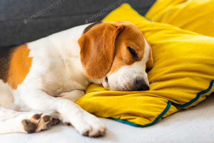 Funny Beagle dog tired sleeps on a cozy sofa, couch, on yellow cushion