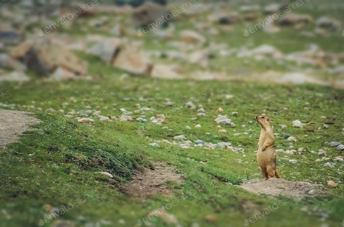 Tibetan marmot on a rock