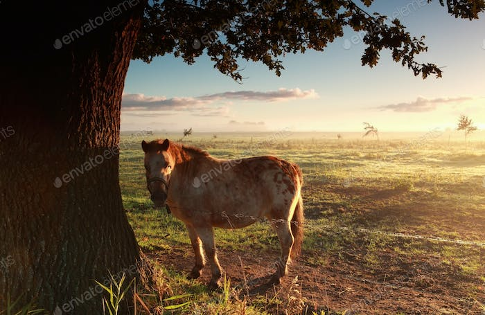 pony on misty morning pasture at sunrise