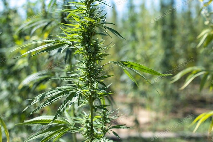 Marijuana farm.  Growing Cannabis sativa in farm.