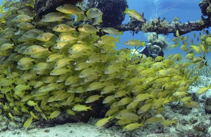 Scuba diver with a massive aggregation of fish.