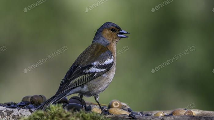 Common Chaffinch male sits on a stump in moss