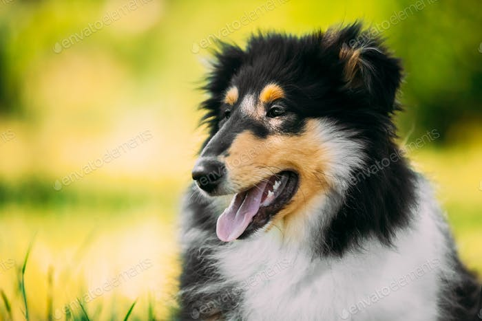 Tricolor Rough Collie Puppy, Funny Scottish Collie, Long-Haired