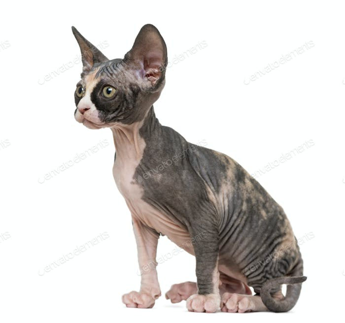 Sphynx kitten sitting and looking away, isolated on white