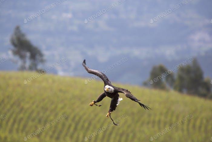 American Bald Eagle Landung in Otavalo, Ecuador
