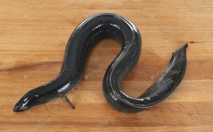 European eel in studio