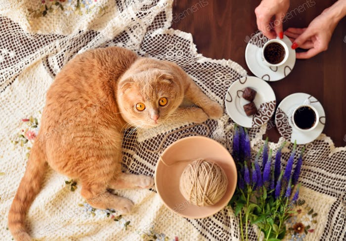 Scottish fold cat lying on table with coffee cups and veronica f
