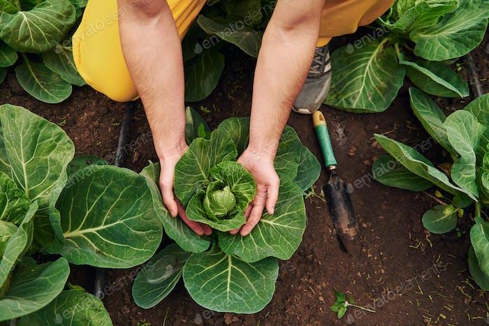Kümmert sich um Kohl. Junge Gewächshausarbeiter in gelber Uniform haben Arbeit im Treibhaus