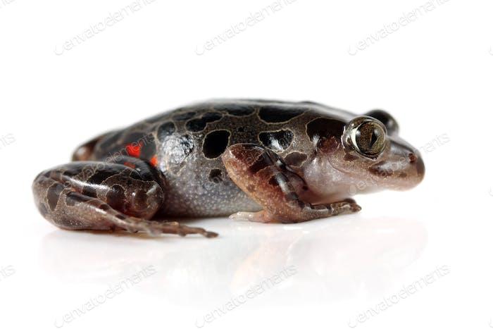 Tanzanian Tiger Leg Frog