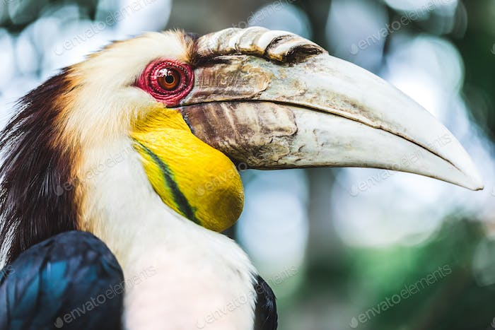 Male Bar-pouched Wreathed Hornbill portrait close up.