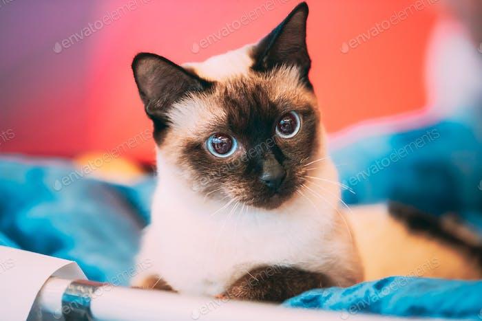 Close Up Portrait Of Mekong Bobtail Cat Kitten. Funny Close Up Mekong Bobtail Cat